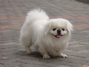 北京犬的性格特征