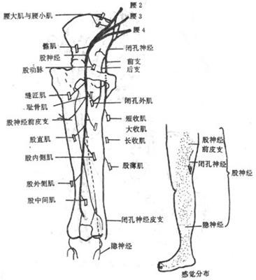 腰间盘突出主要影响哪些神经?